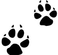 Coyote paw prints